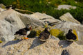 Three Atlantic puffins resting on a rock Royalty Free Stock Photo