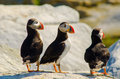 Three Atlantic puffins standing together on a rock Royalty Free Stock Photo