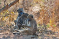 Three baboons chacma cape in south africa Stock Photos