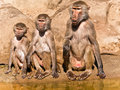 Three baboons of different ages. Stock Image