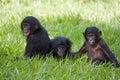 Three baby bonobos play with each other. Democratic Republic of Congo. Lola Ya BONOBO National Park. Royalty Free Stock Photo