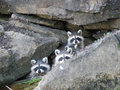 Three Baby raccoons in rocks Royalty Free Stock Photo