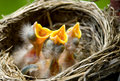 Three Baby Robins in a Nest Stock Photography