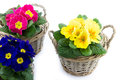 Three baskets with colorful primroses reed filled isolated Royalty Free Stock Photos