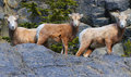 Three beauties looking forward these are rocky mountain sheep found on ledge in jasper alberta on left is momma middle month old Royalty Free Stock Photography