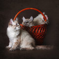 three beautiful cat breed Neva masquerade is played with a basket on a brown background Royalty Free Stock Photo