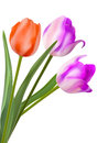 Three beautiful tulips isolated on white eps background and also includes Stock Photos