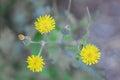 Three beautiful yellow flower Sonchus oleraceus Royalty Free Stock Photo