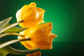 Three beautiful yellow tulips on a reflective table close up picture of Stock Photography