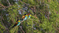 Three Bee-eaters Royalty Free Stock Photo