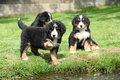 Three bernese mountain dog puppies playing Stock Images