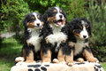 Three bernese mountain dog puppies sitting on blanket Royalty Free Stock Photography