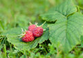 Three berries raspberries Royalty Free Stock Photos