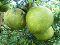 Three Big pomelo or grapefruit on the tree Royalty Free Stock Photo