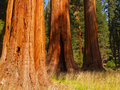 Three Big Trees Royalty Free Stock Photography