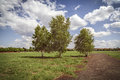 Three birch trees at the tempelhofer feld berlin germany Royalty Free Stock Photos