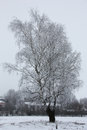 Three birches in the winter. Royalty Free Stock Photo