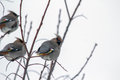 Three birds in tree branches Royalty Free Stock Photo