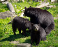 Three black bears mother and two cubs a sleuth or group of american ursus americanus a bear of her sit in a rocky field Royalty Free Stock Photo