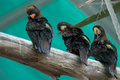 Three black birds on a branch Royalty Free Stock Photo