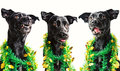 Three black dogs singing Christmas carols Royalty Free Stock Images