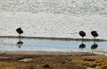 Three black ducks preening in lake chungara lauca national park northern chile Royalty Free Stock Images