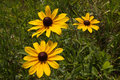 Three Black-Eyed Susan Royalty Free Stock Photo