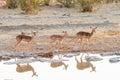 Three black-faced impala at waterhole in Northern Namibia