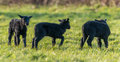 Three black lambs in Spring Royalty Free Stock Photo