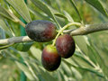 Three black olives from Croatia - Dalmatia Royalty Free Stock Image
