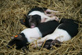 Three black and white piglets sleeping Stock Image