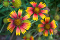 Three blanket flower gaillardia aristata in botanical garden Royalty Free Stock Photos