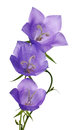 Three blue campanula flowers on white Royalty Free Stock Photo