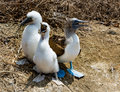 Three Blue-footed Boobies Royalty Free Stock Photo