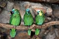 Three Blue-Fronted Amazon (Amazona aestiva) Stock Image