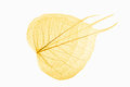 Three bodhi leaves vein yellow isolated on white background Royalty Free Stock Images
