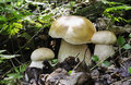 Three boletus edulis or cep mushrooms in the forest Stock Image