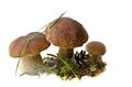 Three Boletus Edulis mushrooms Royalty Free Stock Photography