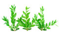 Three boxwood branches