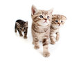 Three british kittens on white Royalty Free Stock Image