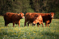 Three brown cows Royalty Free Stock Photography