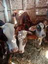 Three brown cows in the stable Royalty Free Stock Photo