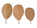 Three brown dry leaf white background Stock Photos