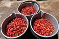 Three buckets full of ripe red coffee beans Royalty Free Stock Photography