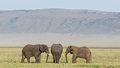 Three Bull Elephants in the Ngorongoro Crater, Tanzania Royalty Free Stock Photo
