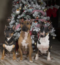 Three bull terriers in front of the christmas tree posing decorated Stock Photos