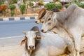 Three Bulls Royalty Free Stock Photo