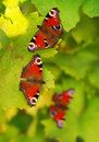 Three butterflies Stock Images