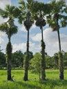 Sugar palm in the garden