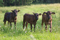 Three calves in pasture Stock Photo